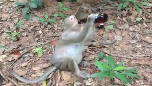 """猴子想当""""酒仙""""?抱起酒瓶直接喝光,下一秒忍住别笑"""