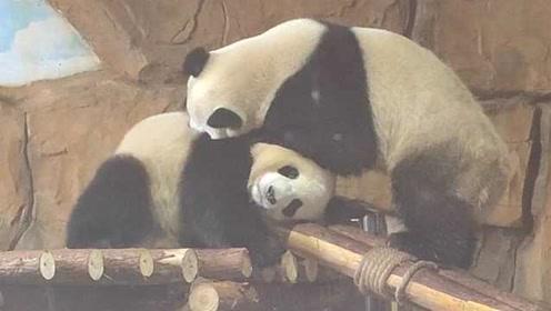 网红大熊猫搬新家,居住环境遭吐槽,网友:快递绵阳竹笋行吗