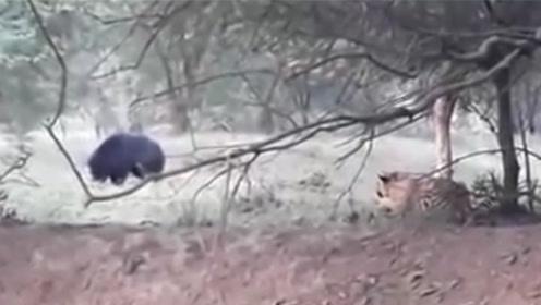 孟加拉虎又怎样!遇到东北的熊瞎子,逃的比兔子都快!