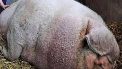 农民廉价买了一头猪,把猪养大了之后,农民意外发现不简单!