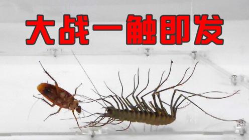 把一只18厘米长的巨大蚰蜒放进蟑螂堆里会如何?