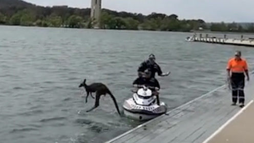袋鼠落水被警察救起送上岸 接下来袋鼠的这一动作令人啼笑皆非