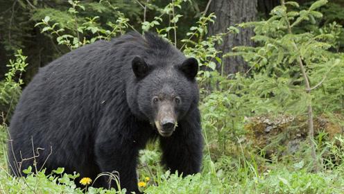护林工人被300多斤黑熊咬伤 面部严重损毁大面积组织缺失