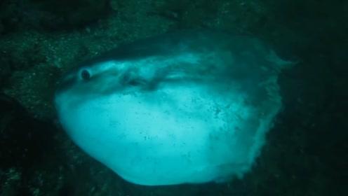 世界上最痴傻的大鱼,身体在被海狮啃,自己竟然毫无察觉