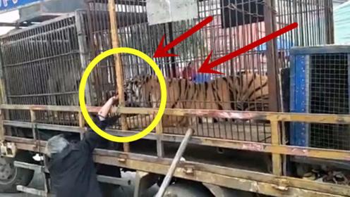 老人隔着笼子去摸老虎,突然被咬住一只手,隔着屏幕都感痛