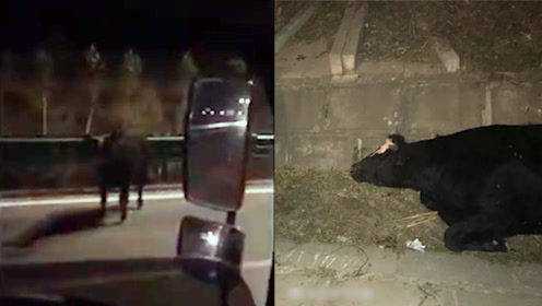 发狂公牛撞伤人后跑上公路攻击车辆行人 神枪手民警一枪将其击毙