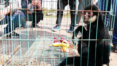 全球仅300多只!河南濮阳救助一只白颊长臂猿属于极危物种