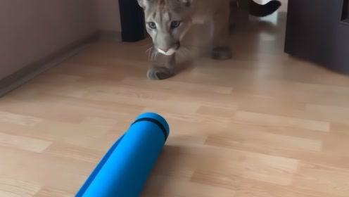 主人给自家狮子拿个瑜伽垫,测试狮子的反应,狮子:这是啥玩意?