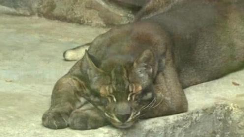 """能够杀死老虎的""""彪"""",现实中什么样子?在我国动物园仅有3只"""