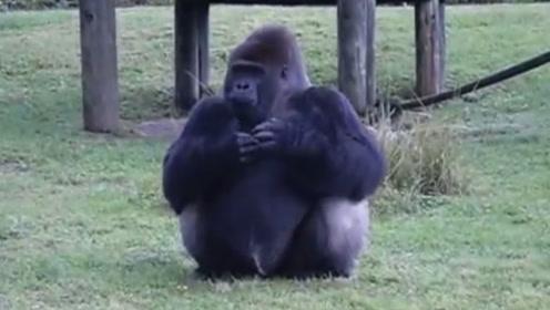 猩猩用手语告诉游客,自己不能被喂食,这家伙简直太聪明了!