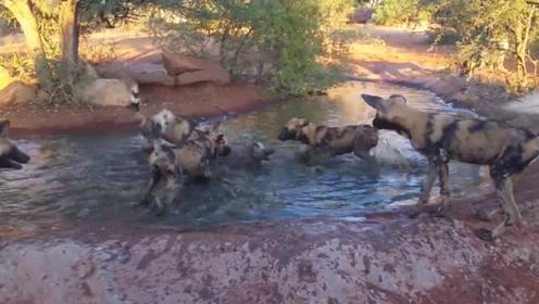 野狗围杀水里的疣猪,疣猪拼命挣扎痛苦哀嚎,太惨了疣猪!