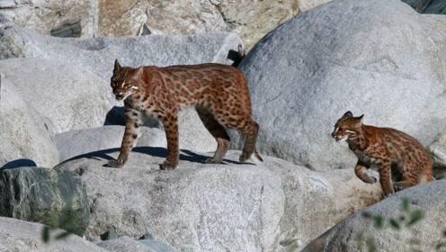 西藏发现即将灭绝的金猫,经常偷袭鸟类,连野猪也不放过!