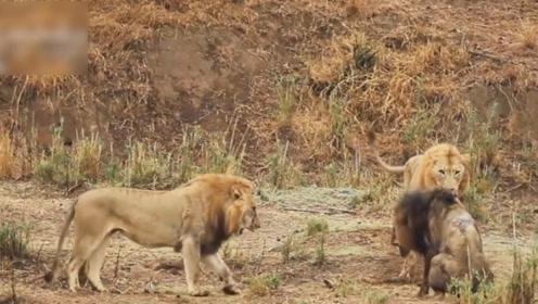 王位的争夺,老狮子王虽然老了,但也绝不会认怂
