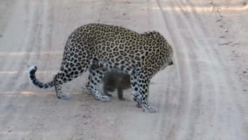 豹子站在路中间,拦住游客去路,五秒钟后惊喜出现