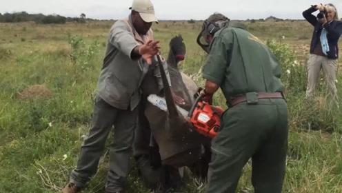 犀牛被活生生切割下牛角,后来才知道,原来这是在保护它们!