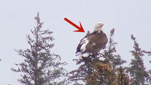 老外给老鹰装了GPS定位装置,20年后发现,老鹰的飞行轨迹令人疑惑