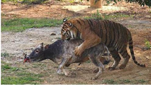 一只老牛被投入老虎园,遭4只老虎集体围攻,毫无反抗之力让人心疼