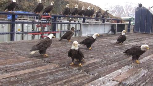 把老鹰当鸽子喂,老鹰还很有礼貌,真是让人大开眼界