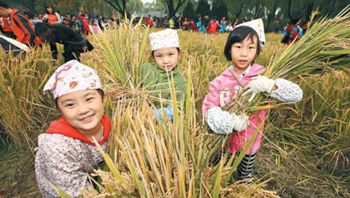 北京市民在公园体验京西稻收割 小朋友:第一次见到真的稻子