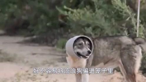 流浪狗被管子套住多年,好心人成功解救后,却发现这个意外之物