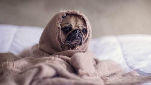 宠物百科:狗一直打喷嚏是为什么?