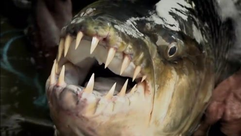 """它被称为鳄鱼的""""克星"""",仅需要一口,就能撕下鳄鱼的一大片肉来"""