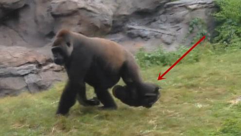 自从来了这只小猩猩,其它猩猩度日如年,看完我都想抽它一巴掌