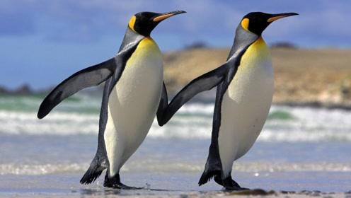 动物百科:企鹅吃什么?