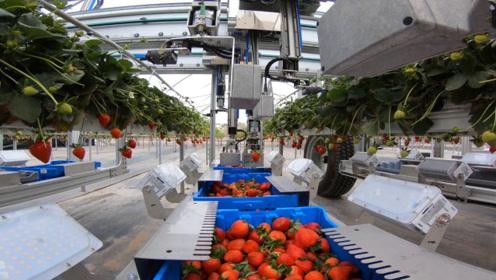 不多见的农业机械,看到第一个我就服了,草莓熟了可自动采摘