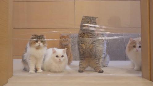 猫咪对保鲜膜墙会有什么反应,网友:真是又傻又可爱!