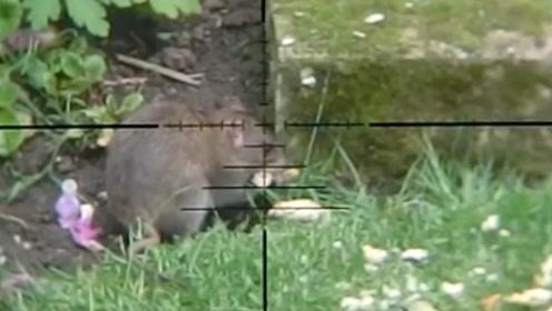 无意中发现老鼠,用热红外线的玩具枪瞄准,一秒崩了脑袋!