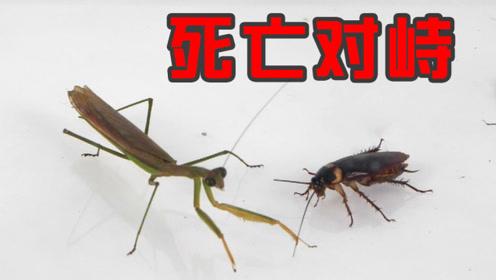 两只螳螂放进蟑螂群里,团灭!