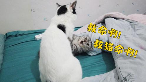 家里俩猫星人又打架了!铲屎官非但不劝架还笑得很开心,一家奇葩