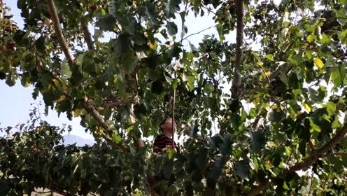 10岁男孩周末爬树打山楂, 称帮父母干活比看电视有意义