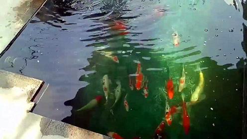 池中不少大肥锦鲤戏耍,水都快漫上来了,就不怕宝贝锦鲤跳上来?