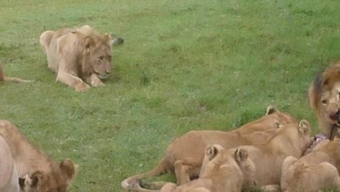 带一小撮黑毛的狮王与孩子们一起进食,小猪腿在嘴中来回咀嚼