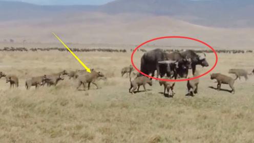 面对鬣狗们的围捕,野牛已经感到绝望,已经不打算逃跑了!