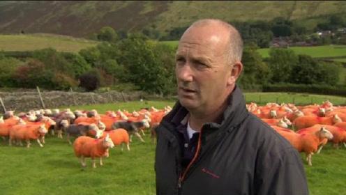 农场大叔4年被偷300只羊,一气之下将绵羊全部染成橘色!