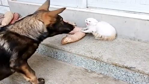 我家大狗没啥本事,欺负小猫的能耐不小,也是没谁了!