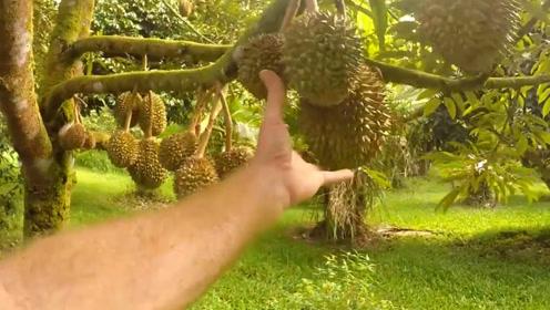 榴莲树能结400个果实,为啥还卖得那么贵?看完让人不敢相信!