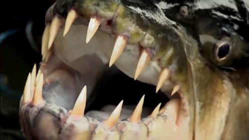 世界上最凶狠的鱼,鳄鱼遇到他毫无反抗的机会,分分钟就被吃掉