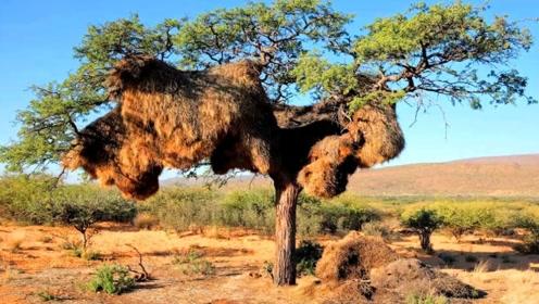 足足有1吨重的鸟巢,可容纳600只鸟,看完不佩服都不行