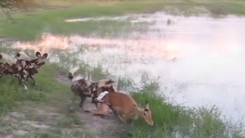 拥有独一无二毛色的动物不只有斑马,还有攻击力强悍的它们