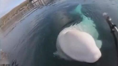 白鲸主动帮皮划艇运动员捡起掉在水里的摄像机,好聪明!