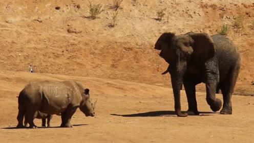重量级对决,犀牛遇到大象会认怂吗?结果让人很意外