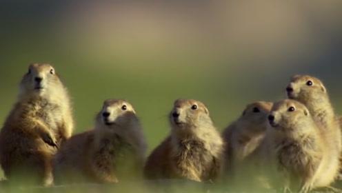 响尾蛇出现在草原犬鼠的领地,草原犬鼠不但不跑反而主动靠近