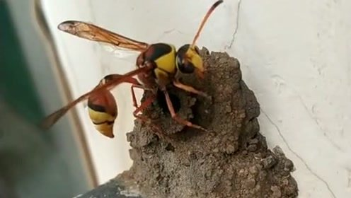 巢穴建好以后,细腰蜂会用毒刺把青虫蛰麻木运回窝里,长见识了!