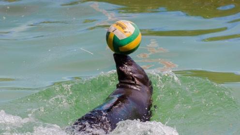 海狮和海豹长得那么像?它们有啥区别?很多人都容易认错