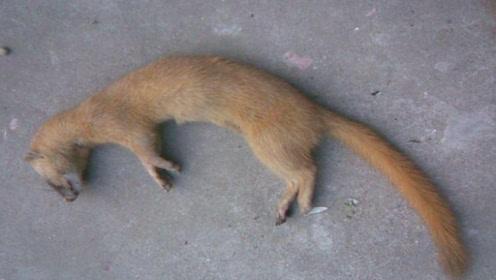 为什么老一辈人说黄鼠狼不能杀?科学研究表明,原来是真的