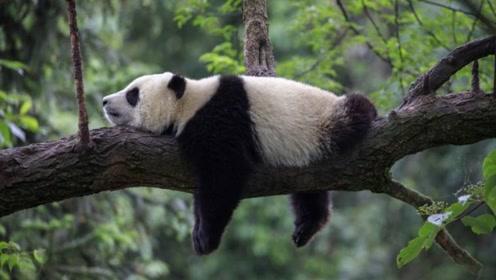 """熊猫生娃多""""任性""""?饲养员:全凭心情,不想生就自动停止妊娠!"""
